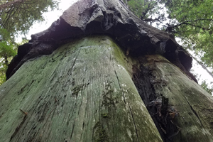 Girdled Tree